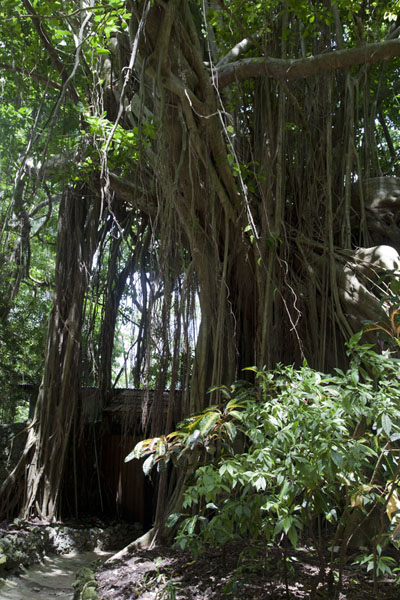 Photo de The bearded fig tree at Welchman Hall Gully, after which Barbados is supposed to have been namedIntérieur de Barbados - Barbade