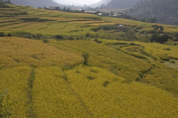 Picture of Rice fields carved out of the landscape surrounding Khamsum Yuelley Namgyal Chorten