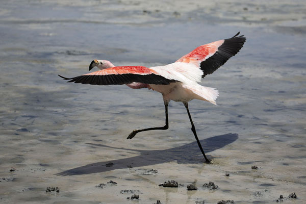 Foto di Andean flamingo taking off from Laguna HediondaEduardo Avaroa Reserve - Bolivia
