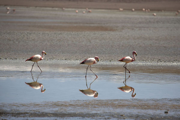 The James flamingoes walking through the shallow water of the Laguna Kolipa - 破利维亚呢