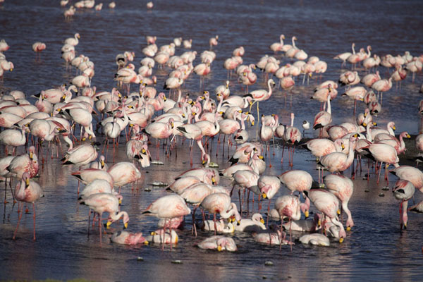 Picture of Three species of flamingoes can be found in the Laguna Colorada: Andean, Chilean, and James