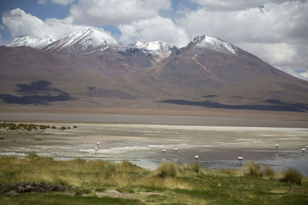 Picture of Flamingoes searching for food in the Laguna CañapaEduardo Avaroa Reserve - Bolivia