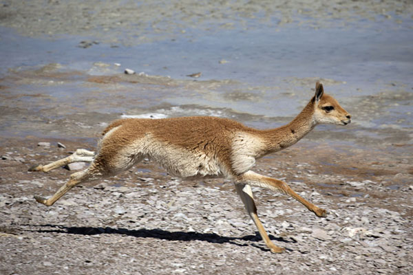 Vicuña running alongside the shoreline of Laguna Kolipa | Eduardo Avaroa lagunes | Bolivia