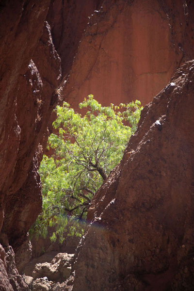 Tree in the upper part of the Canyon of the Inca | Tupiza canyons | 破利维亚呢