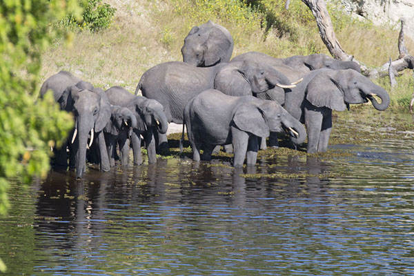 Foto de Herd of elephants drinking on the banks of Chobe riverChobe - Botsuana