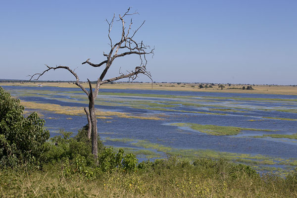 Foto de Dead tree on the banks of Chobe river, looking into the Caprivi strip of NamibiaChobe - Botsuana