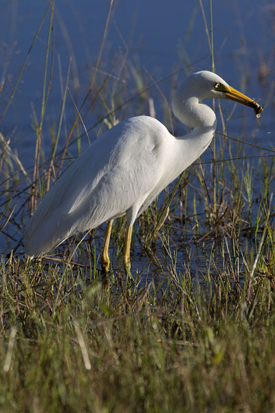 White giant egret swallowing a frog in the early morning | Chobe safari ribereño | Botsuana