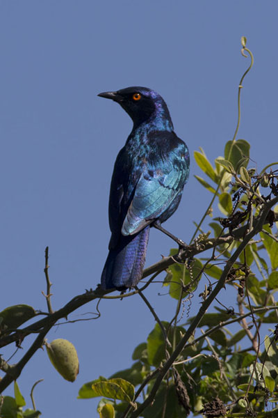 Picture of Chobe riverfront safari (Botswana): Cape starlings are among the most striking birds in Chobe