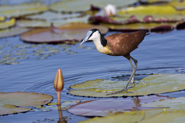 African jacana, or lily-hopper, walking on waterlily leaves | Chobe safari lungofiume | Botswana