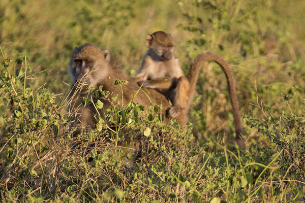 Baboon with baby in the bush in the late afternoon in Chobe | Chobe safari lungofiume | Botswana