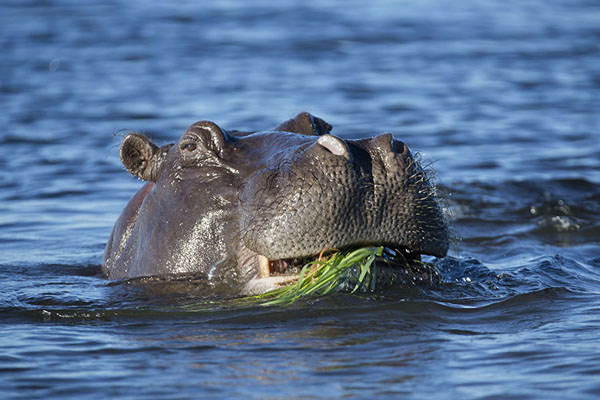 Picture of Chobe riverfront safari (Botswana): Hippopotamus having a bite in Chobe river