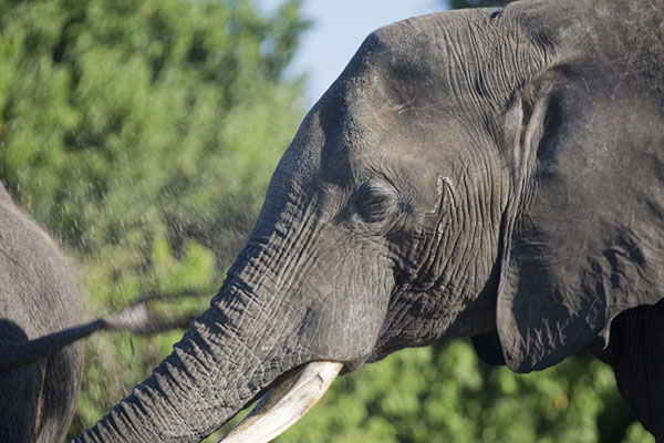Picture of Chobe riverfront safari (Botswana): One of the many elephants of Chobe in the late afternoon