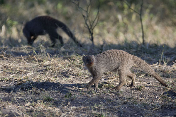 Foto de Mongoose running around the groundChobe - Botsuana