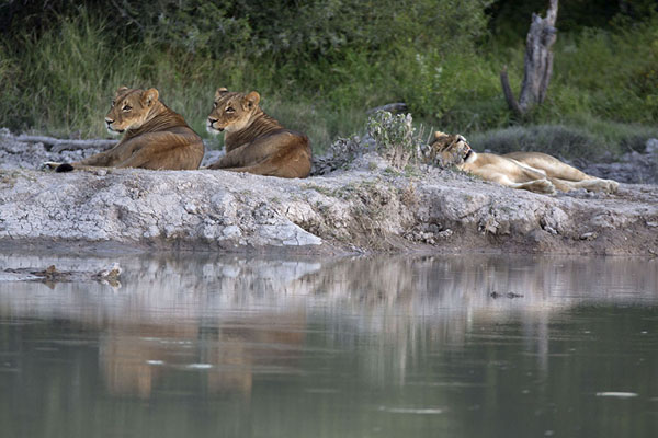 Foto van Lionesses resting at a pool in Nxai PanNxai Pan - Botswana