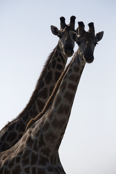 Foto de Pair of giraffes in Nxai PanNxai Pan - Botsuana