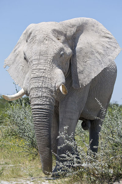 Picture of Elephant towering above the bushes of Nxai PanNxai Pan - Botswana