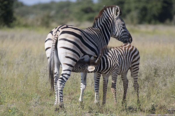 Foto de Young zebra drinking from its motherNxai Pan - Botsuana