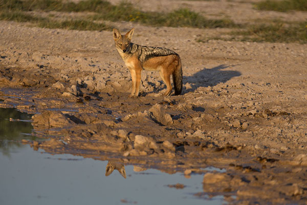 Foto van Jackal at a pool in the early morning - Botswana - Afrika