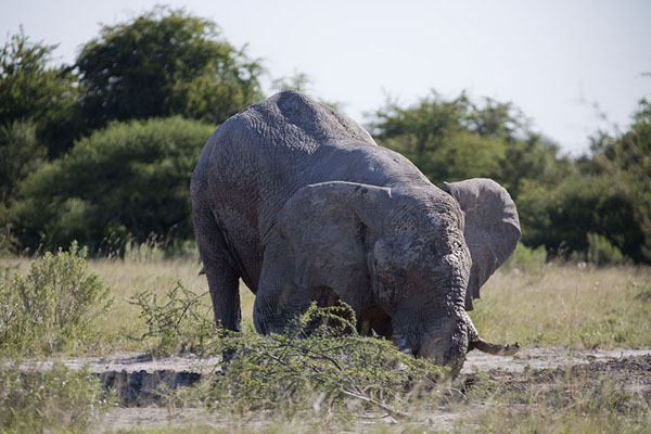 Foto de Elephant on its knees in the northern part of Nxai PanNxai Pan - Botsuana