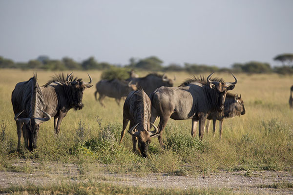 Foto de Group of wildebeest in Nxai PanNxai Pan - Botsuana