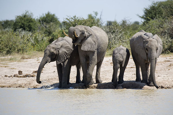 Foto de Family of elephants drinking at one of the pools of Nxai Pan - Botsuana - Africa
