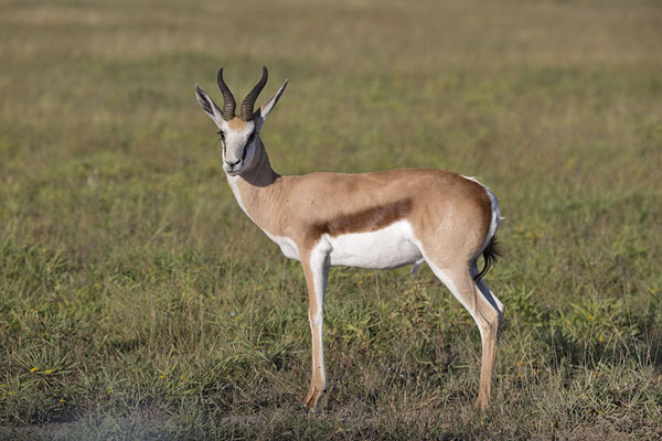 Foto di Springbok on the grass in the early morningNxai Pan - Botswana