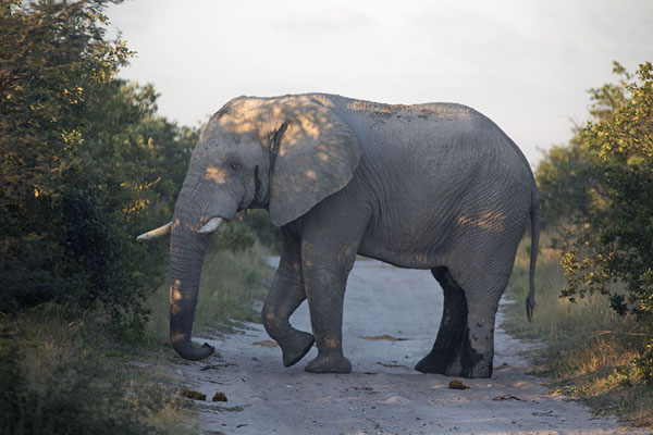 Foto de Elephant on the sandy road linking the main gate to the second gateNxai Pan - Botsuana