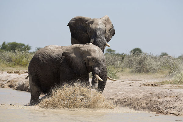 Foto di Elephant splashing water aroundNxai Pan - Botswana