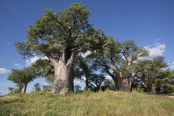 Picture of Millennia-old baobabs stand on an islet in Kudiakam Pan - Botswana - Africa