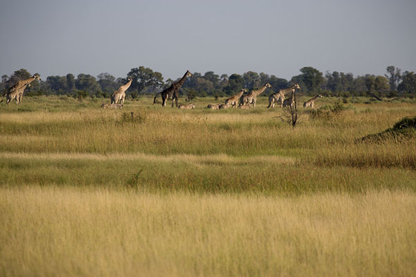 Herd of giraffes walking on one of the many islands of the Okavango delta | Okavango mokoro safari | Botswana