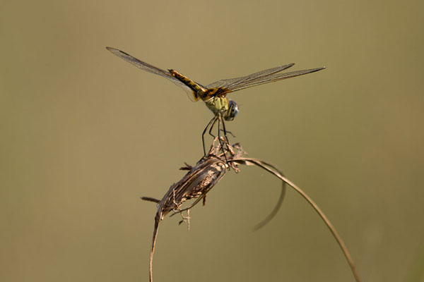 Foto di Botswana (Dragonfly in the Okavango)