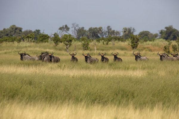 Herd of wildebeest on an island in the Okavango | Okavango mokoro safari | Botswana