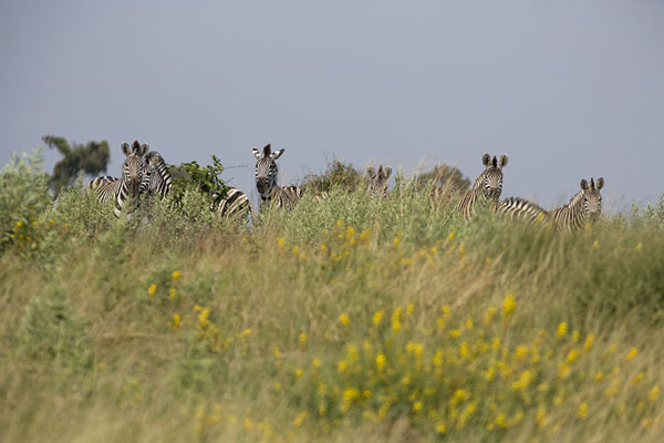 Zebras peeking over the high grass | Okavango mokoro safari | Botswana
