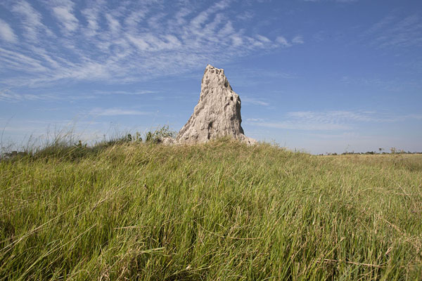 Picture of Looking up a termite hill in the Okavango - Botswana - Africa