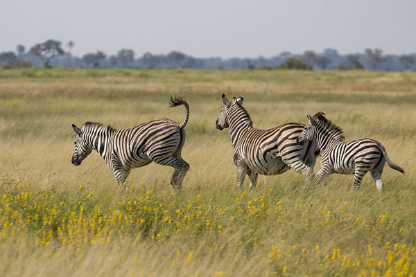 Picture of Zebras running on an island in the Okavango delta - Botswana - Africa