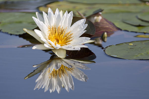 的照片 Waterlily in the Okavango delta - 波札那