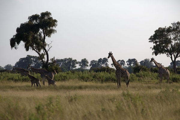 Giraffes on an island in the Okavango delta | Okavango mokoro safari | Botswana