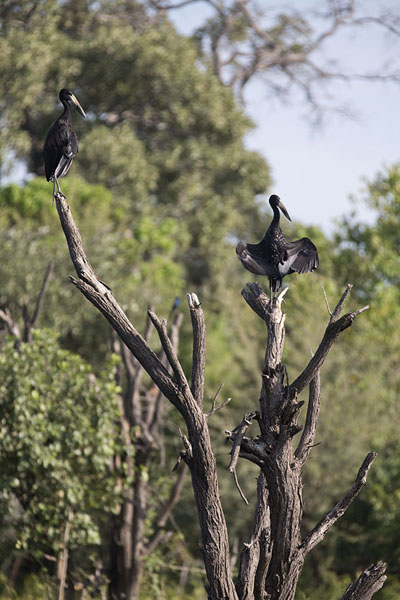 Photo de African openbills resting on a treeOkavango - Botswana