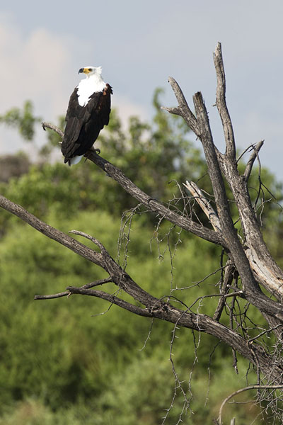 Fish eagle resting on a branch | Okavango mokoro safari | Botswana
