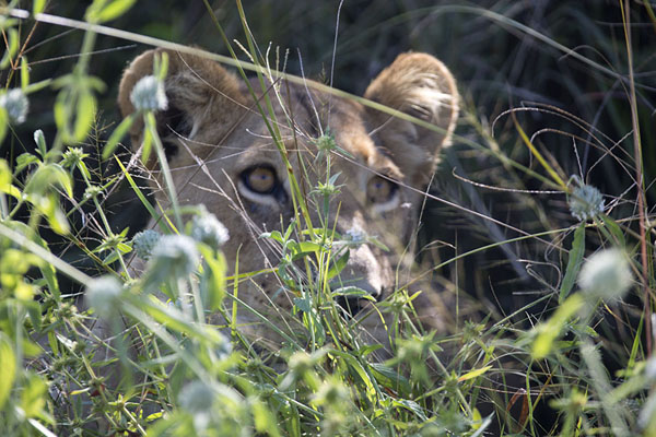 Foto van Botswana (Lioness in the shade of a Savuti bush)