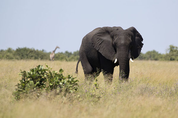 Dark elephant in the yellow grass of Savuti | Savuti safari | Botsuana