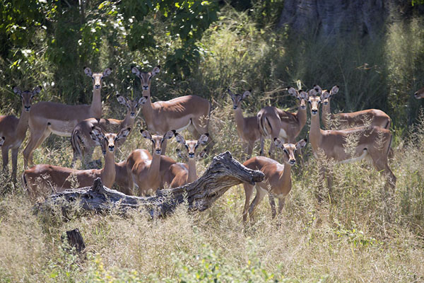 Herd of impalas in the dry Savuti Channel | Savuti safari | Botsuana