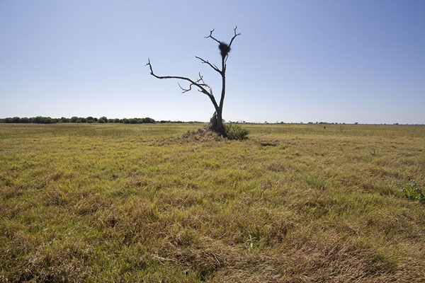 Dead tree in the flat Savuti landscape | Savuti safari | Botsuana