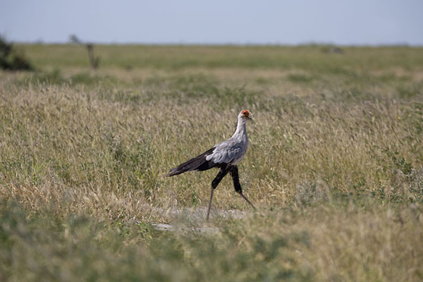Foto van Bird walking through the grass of SavutiSavuti - Botswana