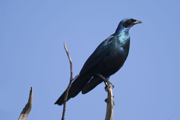 Picture of Dark blue starling sitting on a dead branch