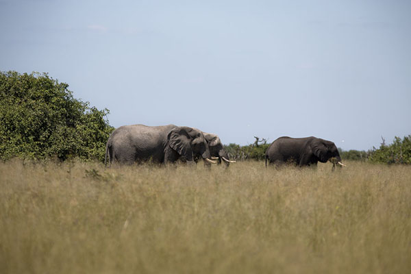 Elephants moving through high grass - 波札那
