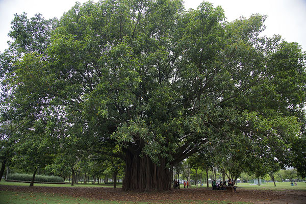 One of the enormous trees in the park | Ibirapuera Park | Brazilië