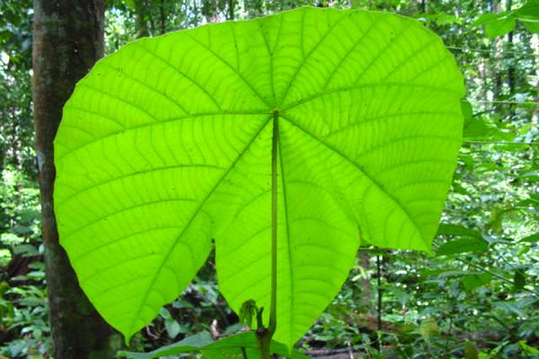 Leaf in the jungle | Bukit Patoi | Brunei