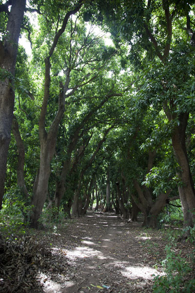 Lane of mango trees leading up to Karfiguela falls | Karfiguela waterfalls | Burkina Faso