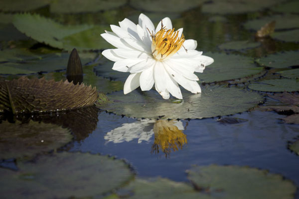 Foto de Waterlily reflected in the tranquil waters of Tengrela Lake - Burkina Faso - Africa